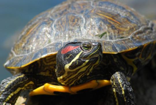 Serie especial Tortugas. Nº 8. FINAL. Americanas, atractivas, exóticas y… ¡Muy peligrosas!